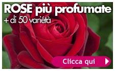 rose piu profumate