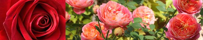 rosiers à planter meilland