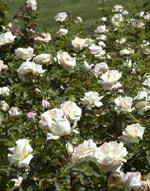 rosier buisson à grandes fleurs