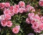rosier buisson à fleurs groupées