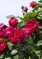 rosiers vente en ligne