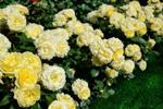 acheter rosier paysager