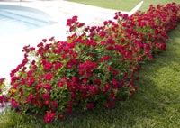 rosiers racines nues pret a planter