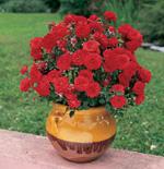 acheter rosier miniature