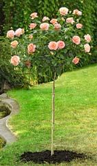 rosier tige planter