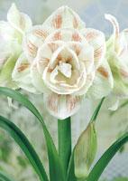 bulbe amaryllis