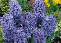 Jacinthes au jardin