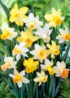 fleurs narcisses