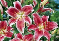 Lys fleurs