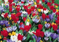 tulipes et crocus