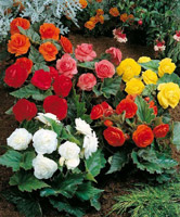 plantes bégonias