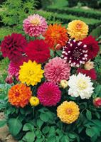 bulbes de dahlias