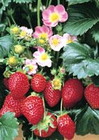 Vente en ligne fraisiers