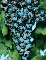 piante viti da tavola
