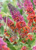 arbuste buddleia