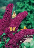 buddleia arbuste