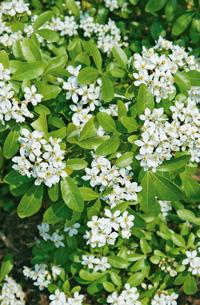 choisya arbuste printemps