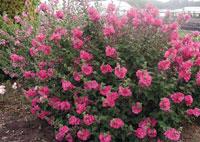 lavatères roses