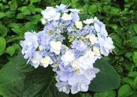 Hortensias de jardin