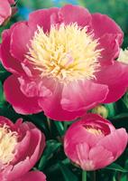 Pivoine Lactifora Bowl of Beauty