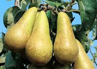 albero da frutto pero