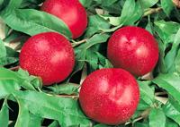 acheter nectarines