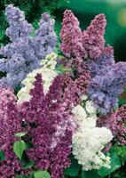 conseils jardinage lilas