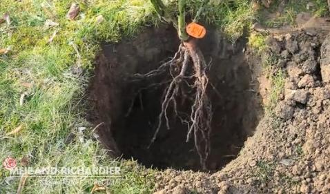 planter un rosier sans motte