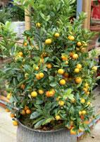 agrume arbuste