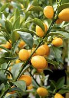agrume arbuste méditerranéen
