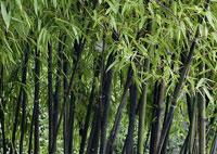 jardin exotique bambous