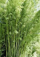 conseils jardinage bambou