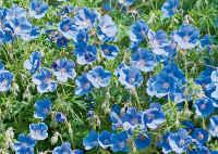 geraniums de jardin