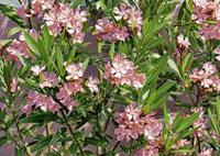 ambiance méditerranée jardin laurier rose
