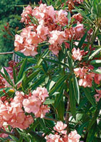 laurier rose arbuste