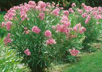 laurier rose à planter