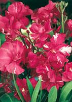 laurier rose arbuste méditerranéen