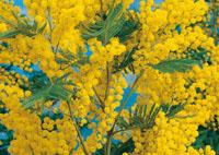 mimosa arbuste