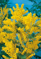 mimosas arbustes