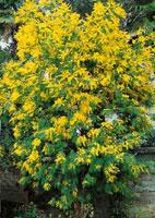 mimosa à planter
