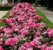 rose rodin