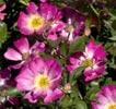 rose pink drift