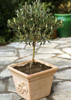 acheter olivier