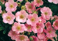potentille rose lovely pink