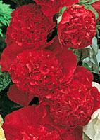 Rose trémière vivace