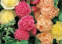 rose trémière multicolore au jardin