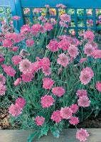 Fleurs scabieuses