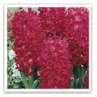 jacinthe rouge