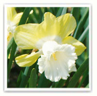 narcisse bicolore