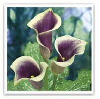 arum bicolore violet et blanc